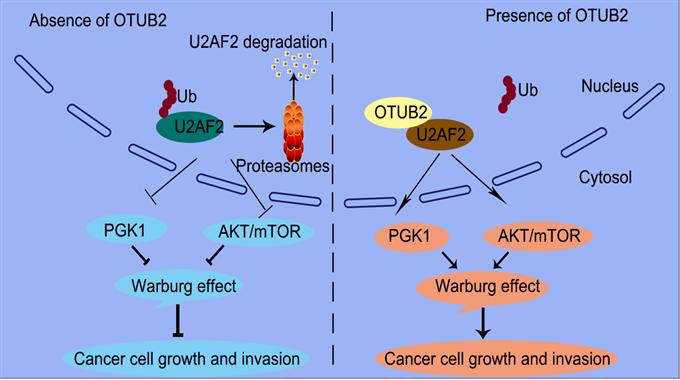 姚明团队揭示去泛素化酶OTUB2是肺癌发生的关键驱动因子和潜在的治疗靶点